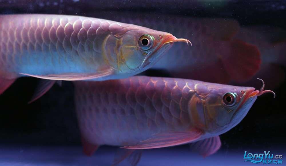 王者归来记录李亚四古典龙鱼到货 郑州水族批发市场 郑州龙鱼第18张