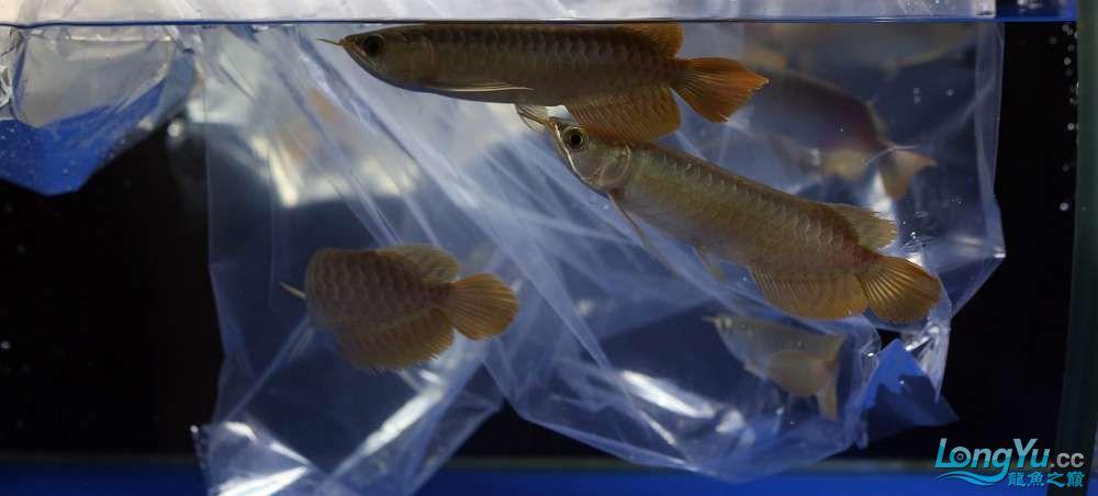 王者归来记录李亚四古典龙鱼到货 郑州水族批发市场 郑州龙鱼第24张