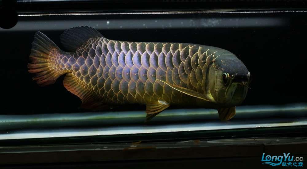 王者归来记录李亚四古典龙鱼到货 郑州水族批发市场 郑州龙鱼第27张
