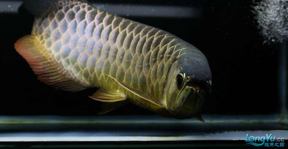 王者归来记录李亚四古典龙鱼到货 郑州水族批发市场 郑州龙鱼第29张