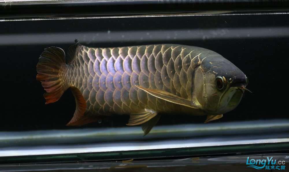 王者归来记录李亚四古典龙鱼到货 郑州水族批发市场 郑州龙鱼第30张