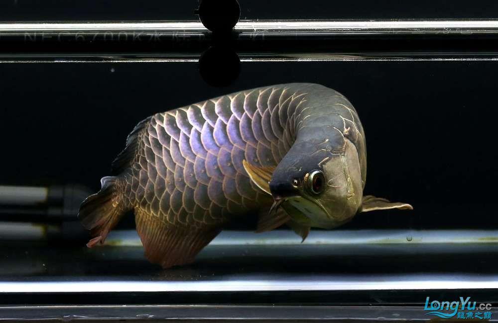 王者归来记录李亚四古典龙鱼到货 郑州水族批发市场 郑州龙鱼第33张