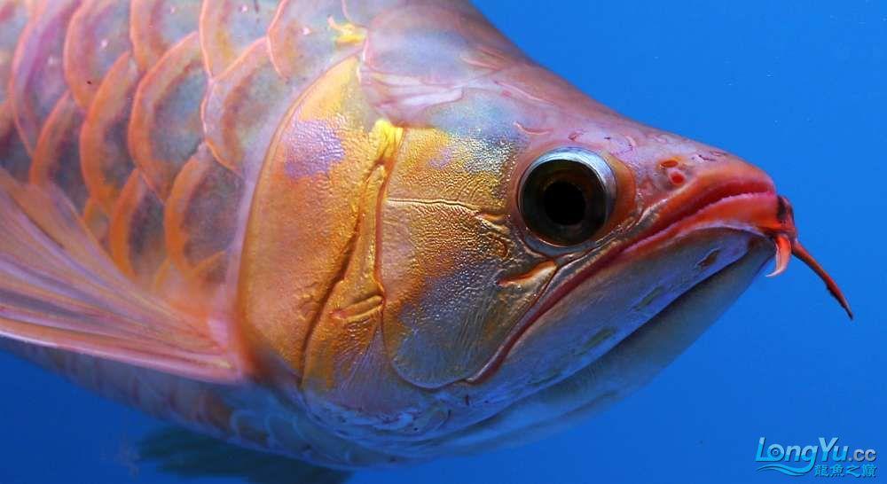 王者归来记录李亚四古典龙鱼到货 郑州水族批发市场 郑州龙鱼第37张