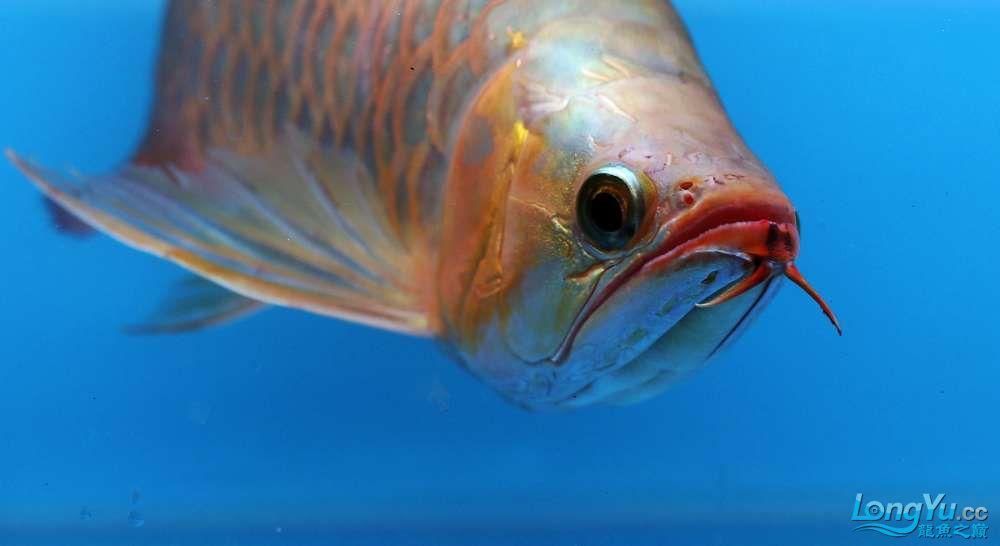 王者归来记录李亚四古典龙鱼到货 郑州水族批发市场 郑州龙鱼第36张