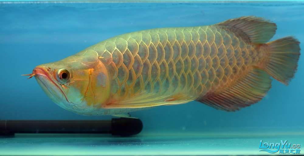 王者归来记录李亚四古典龙鱼到货 郑州水族批发市场 郑州龙鱼第38张