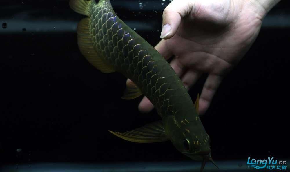 王者归来记录李亚四古典龙鱼到货 郑州水族批发市场 郑州龙鱼第40张