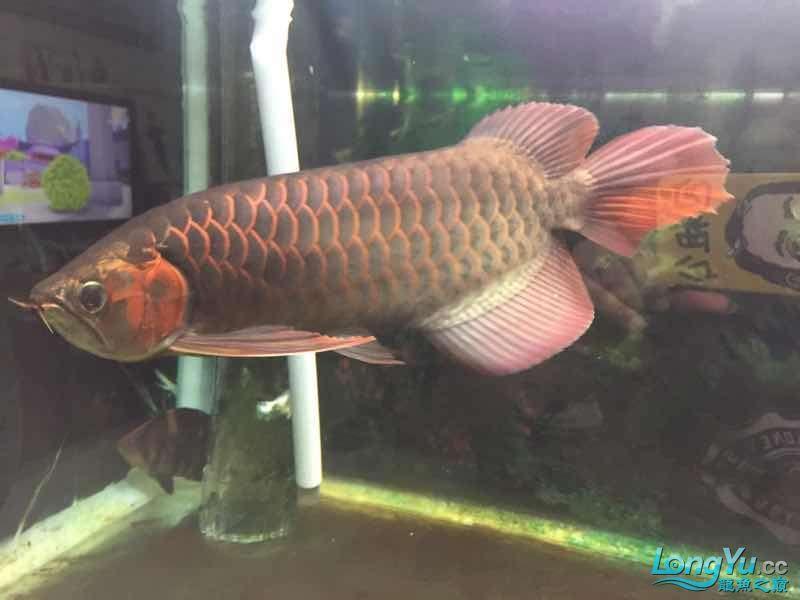 准备一年咯 武汉水族批发市场 武汉龙鱼第2张