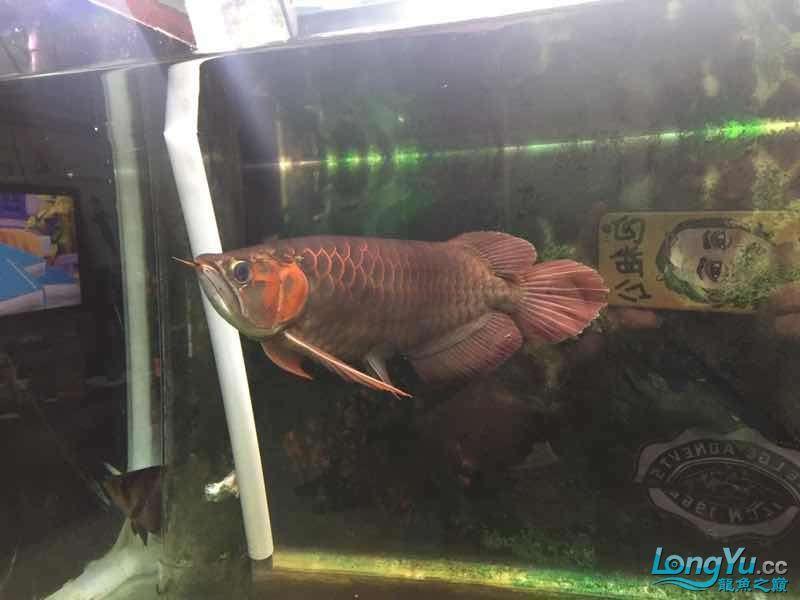 准备一年咯 武汉水族批发市场 武汉龙鱼第4张