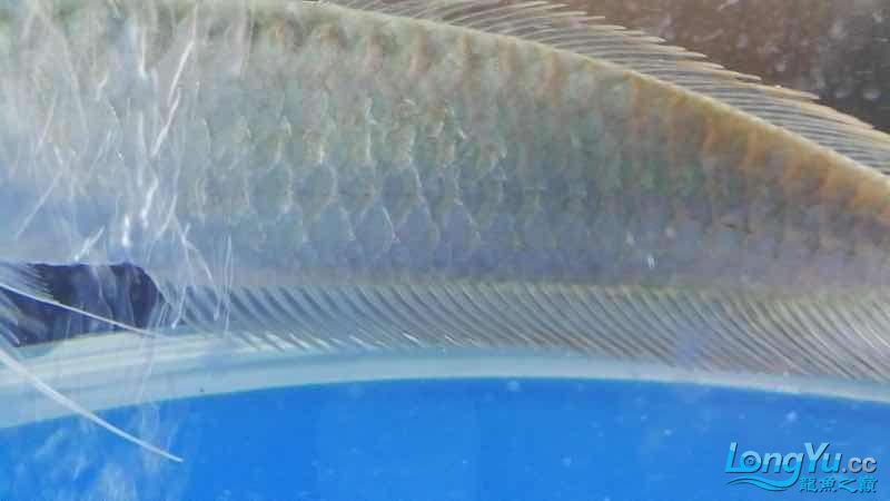 还真是一天一个样啊 武汉水族批发市场 武汉龙鱼第4张