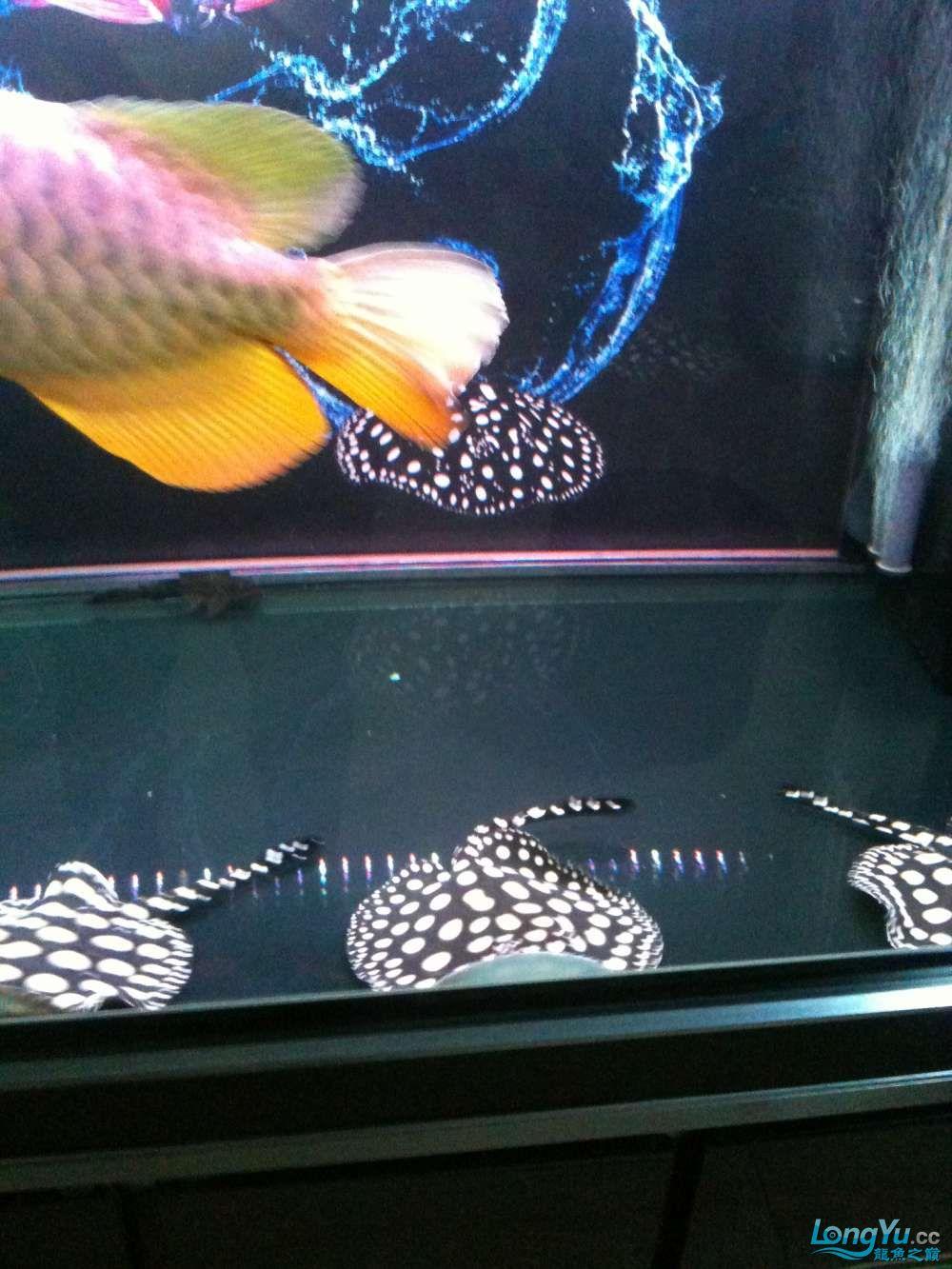 西安印尼虎鱼身上划痕纯血皇冠一公二母 西安水族批发市场 西安龙鱼第3张