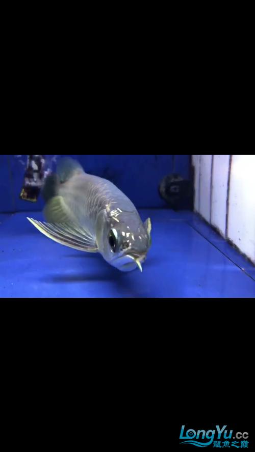 银川白化九角龙鱼价格龙鱼断须是否还能再长望大神指教 银川水族批发市场