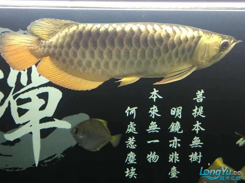 太原哪个水族店卖布隆迪六没事溜达溜达 太原龙鱼论坛 太原龙鱼第3张
