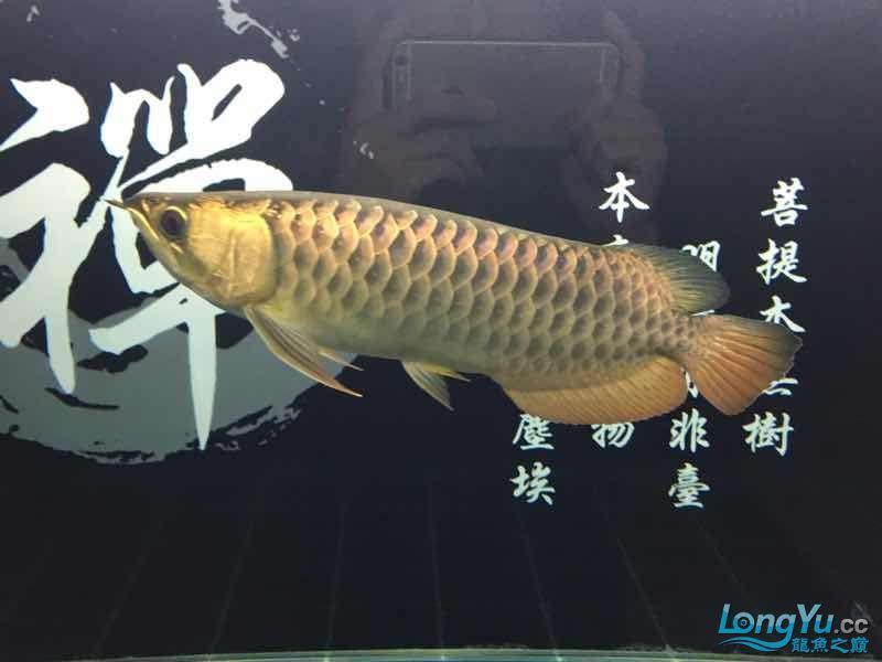 太原哪个水族店卖布隆迪六没事溜达溜达 太原龙鱼论坛 太原龙鱼第5张