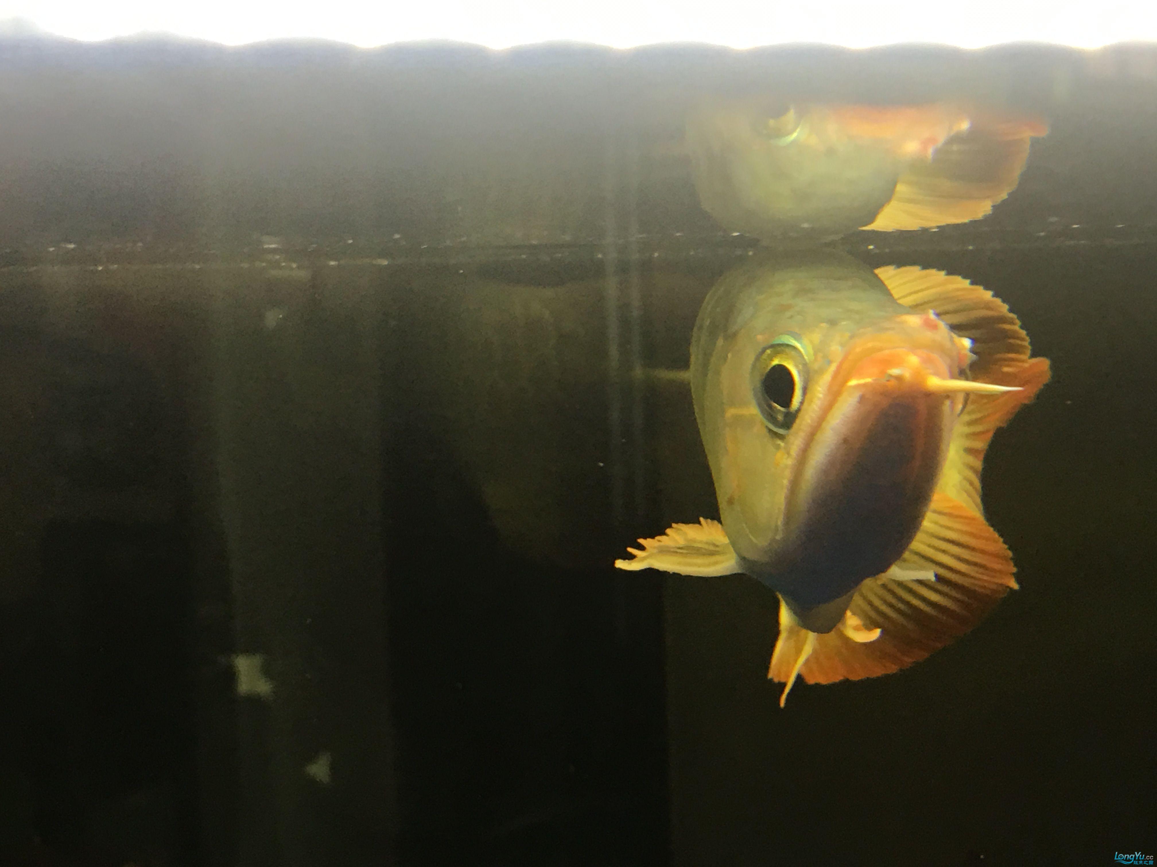 成都热带鱼水族箱市场红龙呼吸困难 成都水族批发市场 成都龙鱼第3张