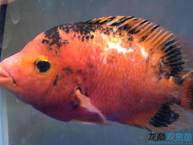 请大家帮忙给看看这是什么病该如何治疗 西宁观赏鱼 西宁龙鱼第1张