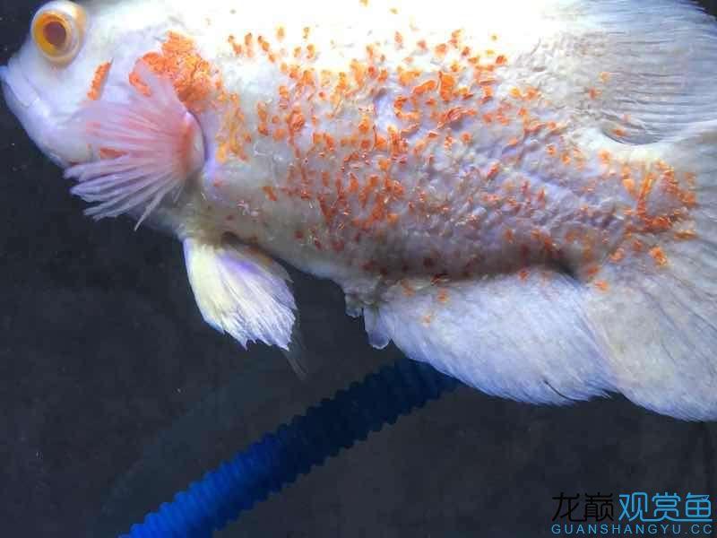 请大家帮忙给看看这是什么病该如何治疗 西宁观赏鱼 西宁龙鱼第2张