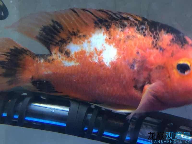 请大家帮忙给看看这是什么病该如何治疗 西宁观赏鱼 西宁龙鱼第5张