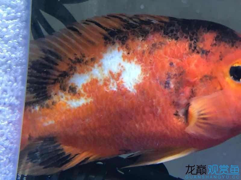 请大家帮忙给看看这是什么病该如何治疗 西宁观赏鱼 西宁龙鱼第6张