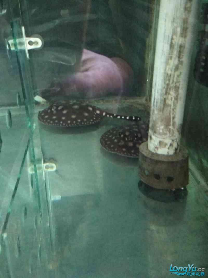 西宁女王(大帆)苗终于繁殖出来了 西宁龙鱼论坛 西宁龙鱼第1张