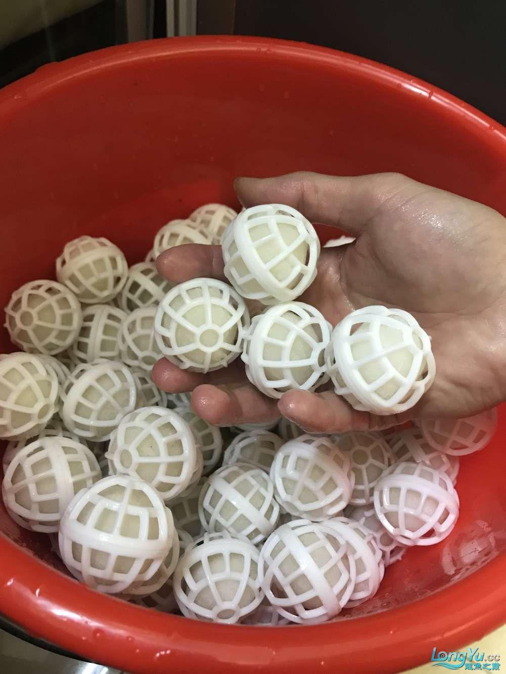 重庆粗线银板鱼哪个店的最好新人再次入水开缸大吉 重庆观赏鱼 重庆水族批发市场第52张
