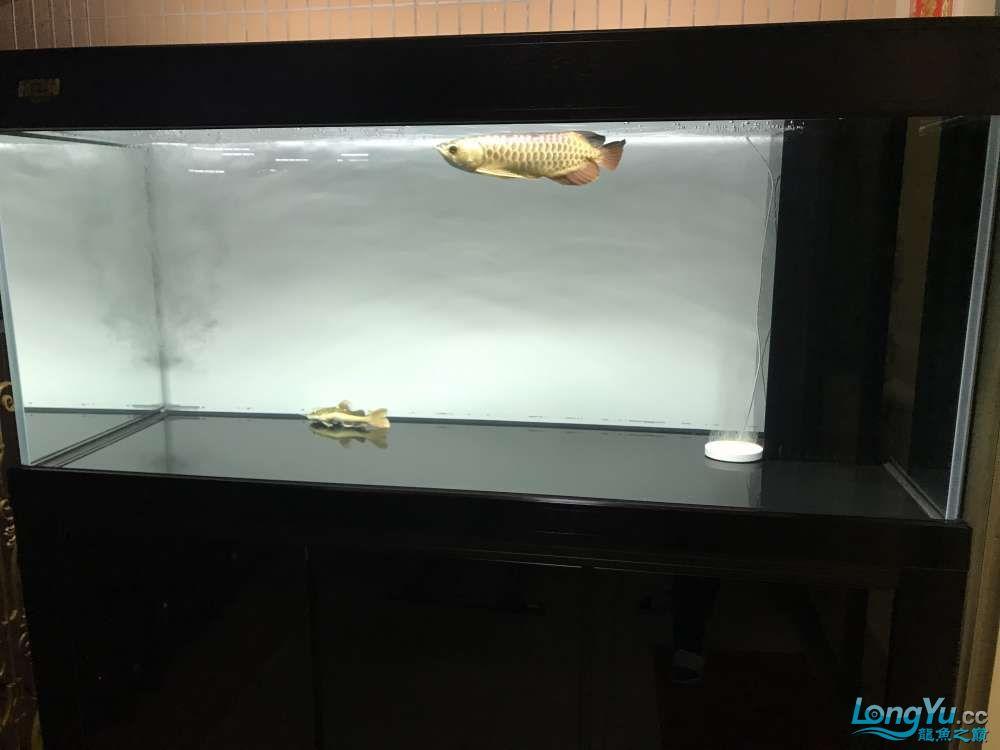 重庆粗线银板鱼哪个店的最好新人再次入水开缸大吉 重庆观赏鱼 重庆水族批发市场第88张