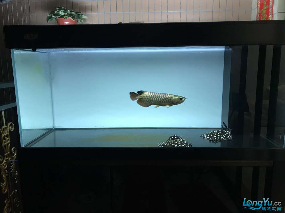 重庆粗线银板鱼哪个店的最好新人再次入水开缸大吉 重庆观赏鱼 重庆水族批发市场第74张