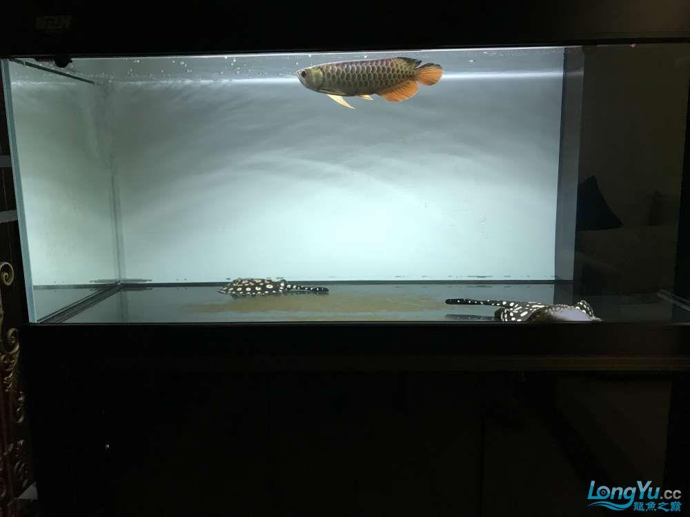重庆粗线银板鱼哪个店的最好新人再次入水开缸大吉 重庆观赏鱼 重庆水族批发市场第90张