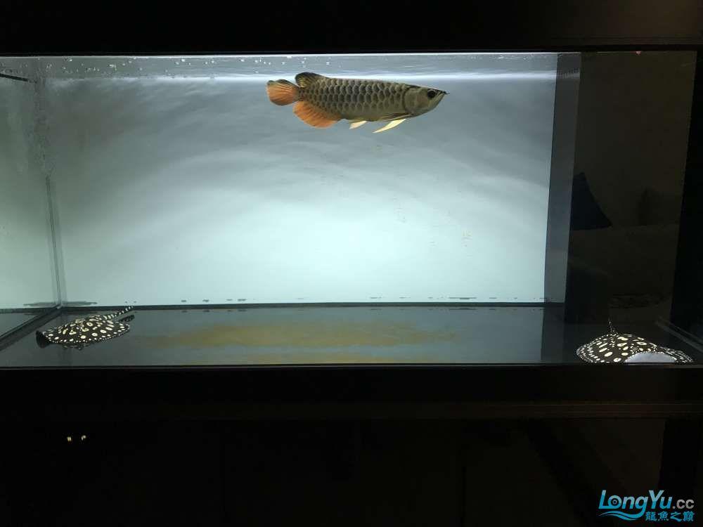 重庆粗线银板鱼哪个店的最好新人再次入水开缸大吉 重庆观赏鱼 重庆水族批发市场第91张
