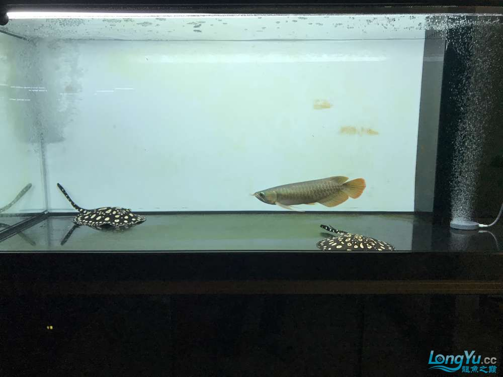 重庆粗线银板鱼哪个店的最好新人再次入水开缸大吉 重庆观赏鱼 重庆水族批发市场第83张