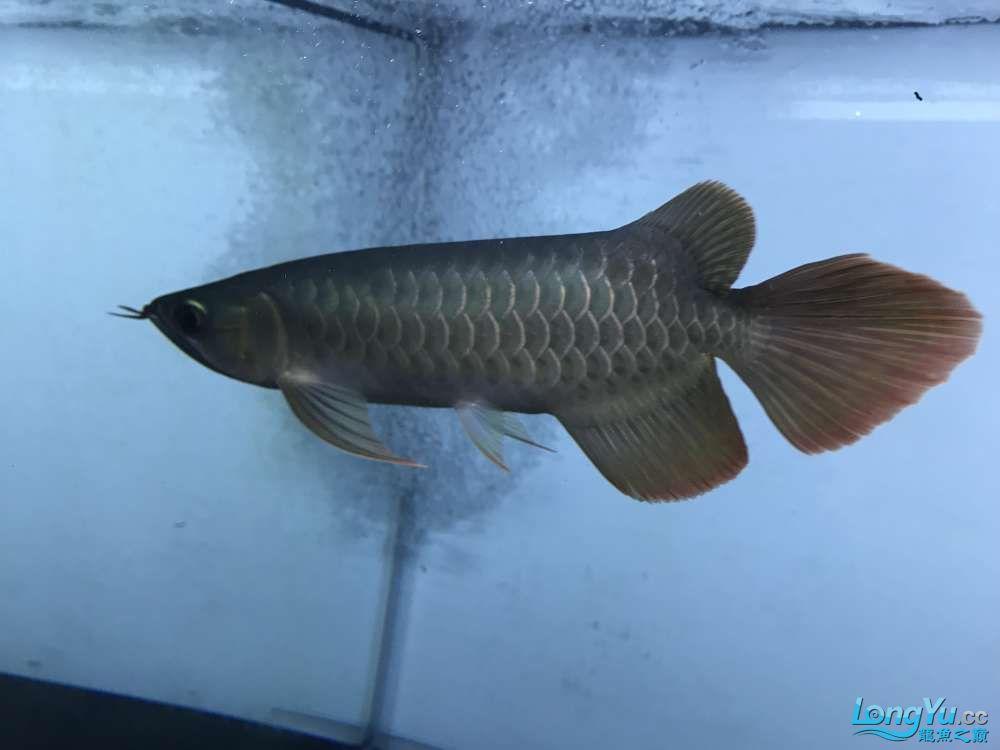 重庆粗线银板鱼哪个店的最好新人再次入水开缸大吉 重庆观赏鱼 重庆水族批发市场第81张