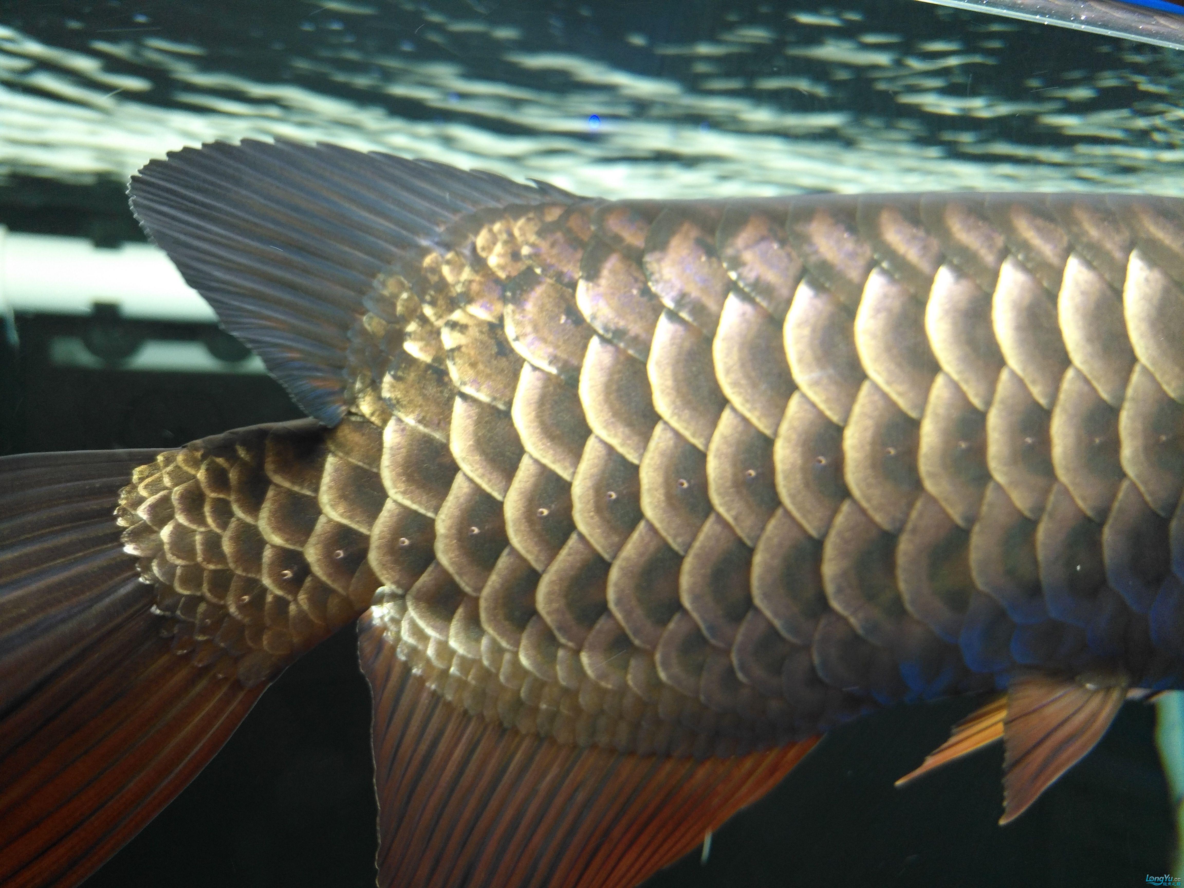 龙鱼终于开食了 西宁龙鱼论坛 西宁龙鱼第2张