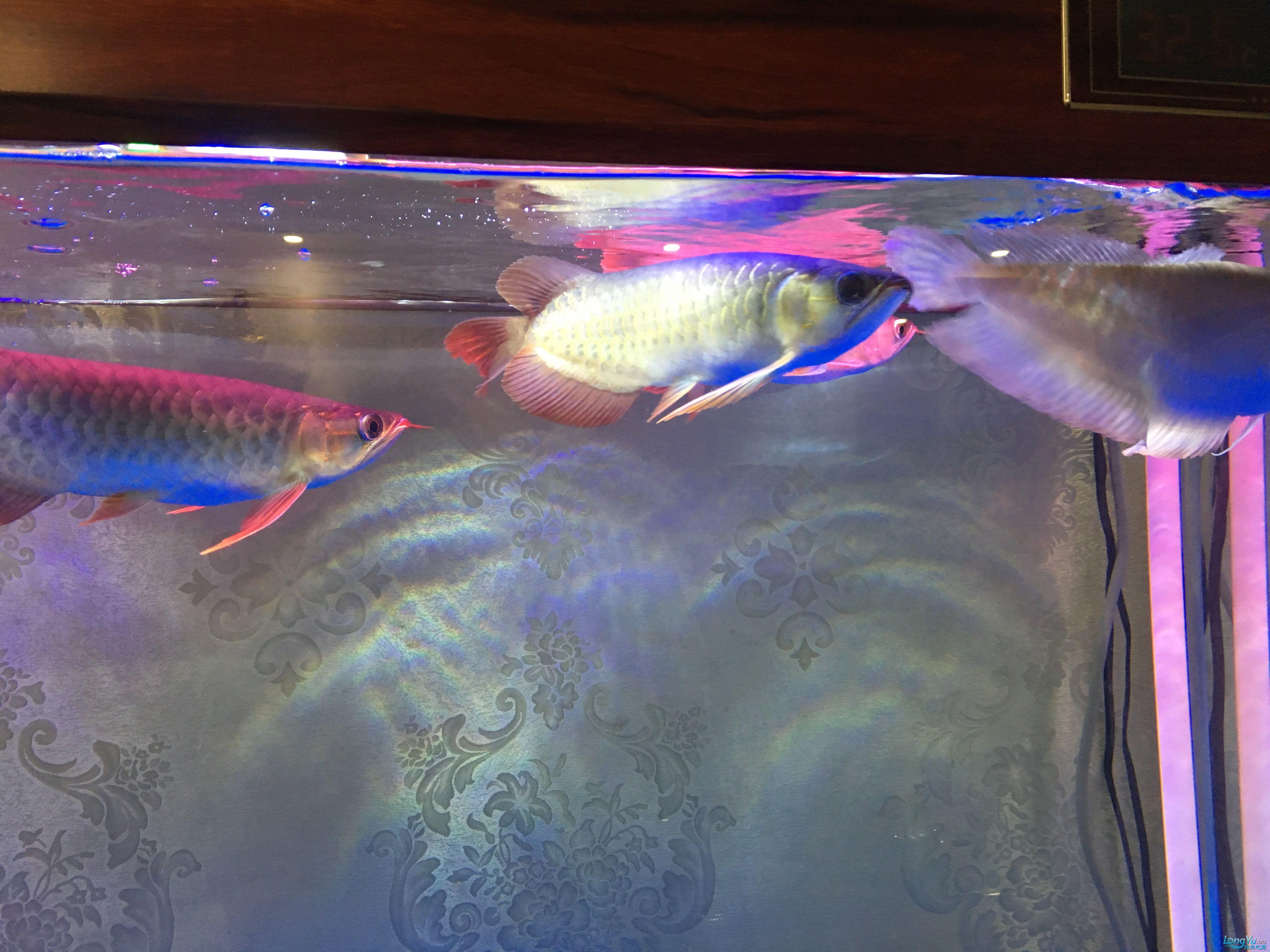 重庆黑鲳鱼价格那位鱼友给我看看龙的质量 重庆观赏鱼 重庆水族批发市场第6张