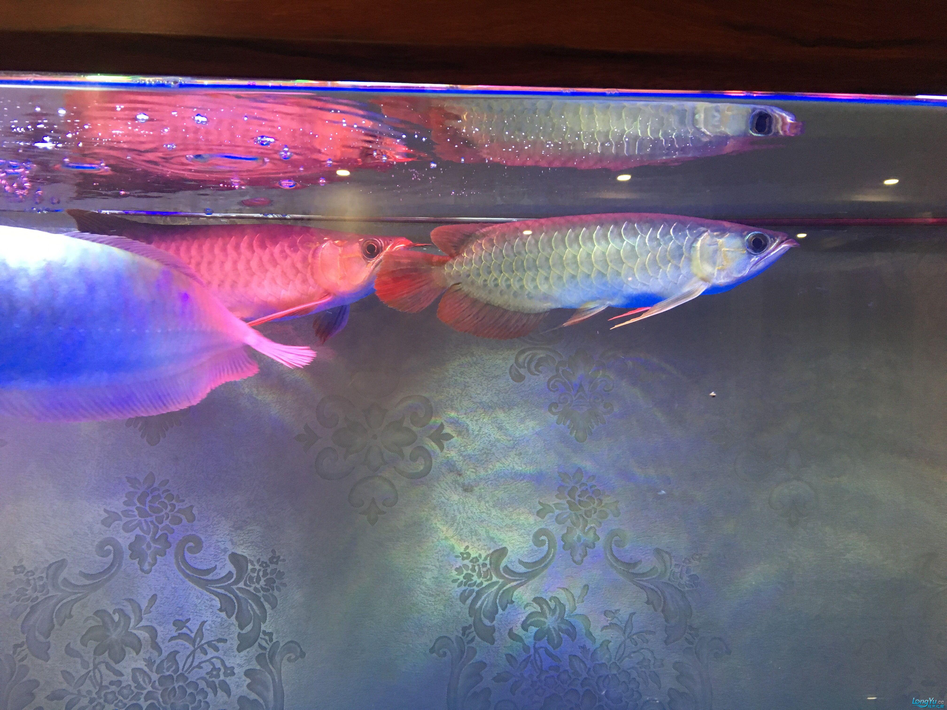 重庆黑鲳鱼价格那位鱼友给我看看龙的质量 重庆观赏鱼 重庆水族批发市场第3张