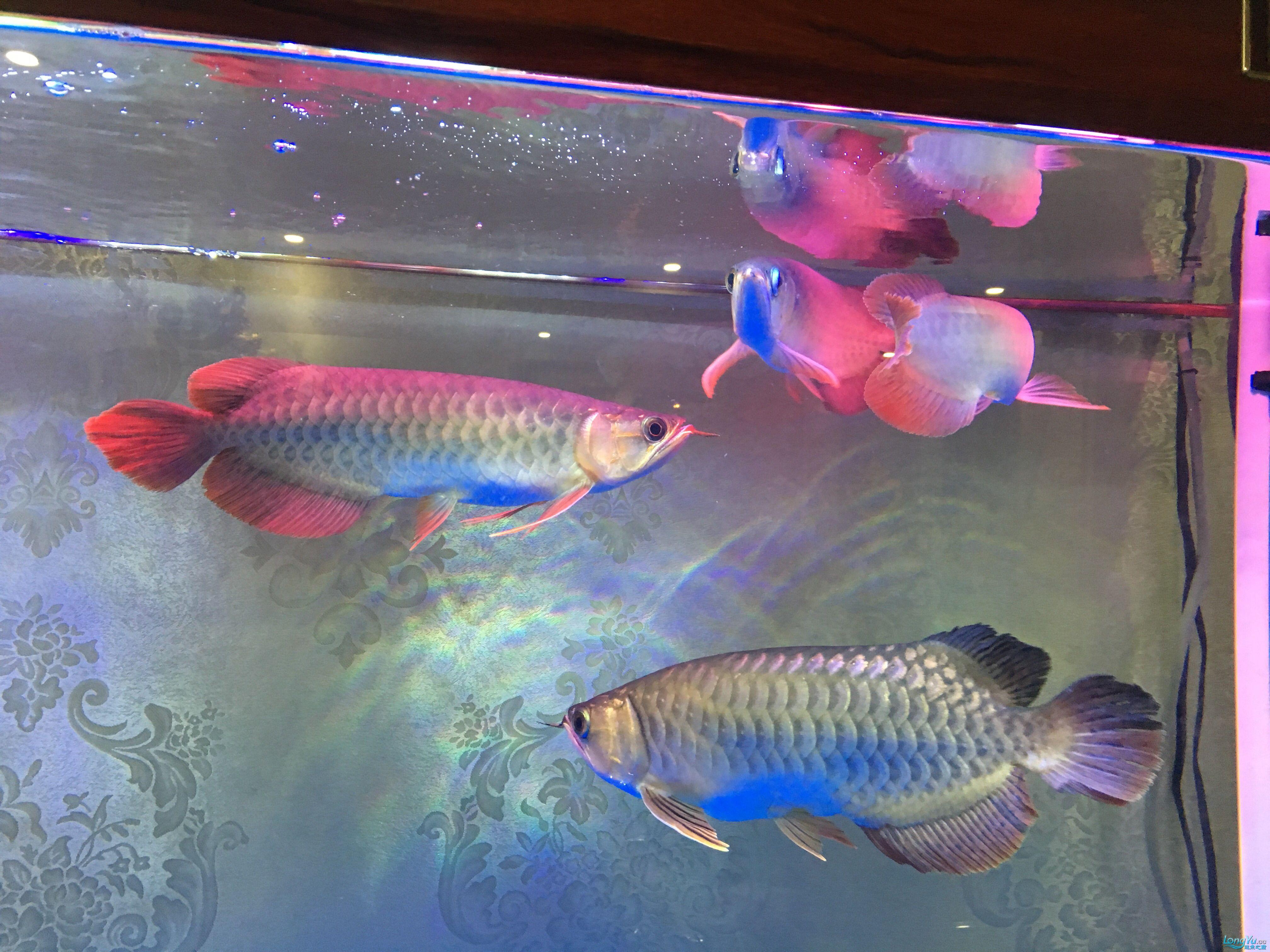 重庆黑鲳鱼价格那位鱼友给我看看龙的质量 重庆观赏鱼 重庆水族批发市场第1张