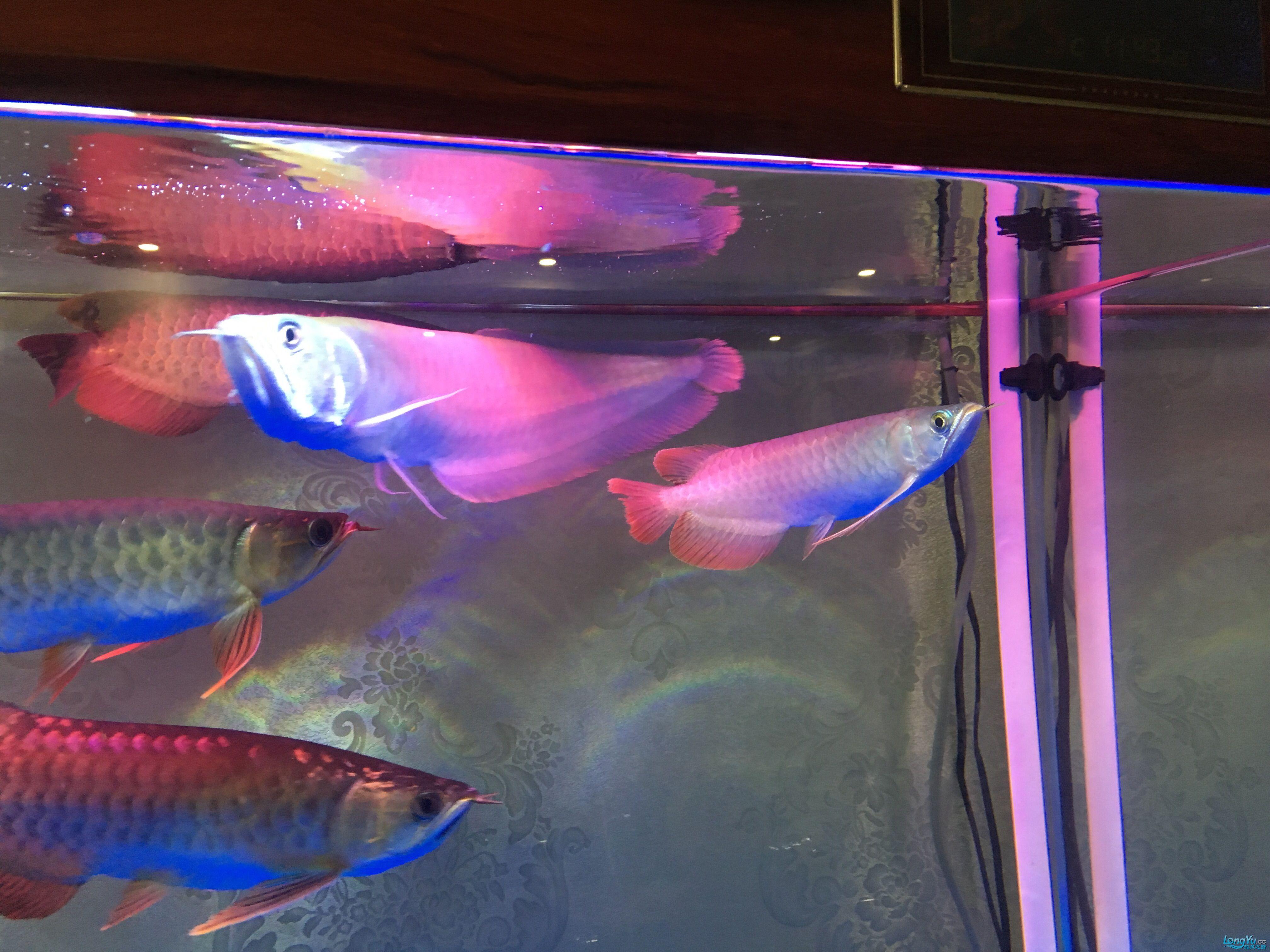 重庆黑鲳鱼价格那位鱼友给我看看龙的质量 重庆观赏鱼 重庆水族批发市场第2张
