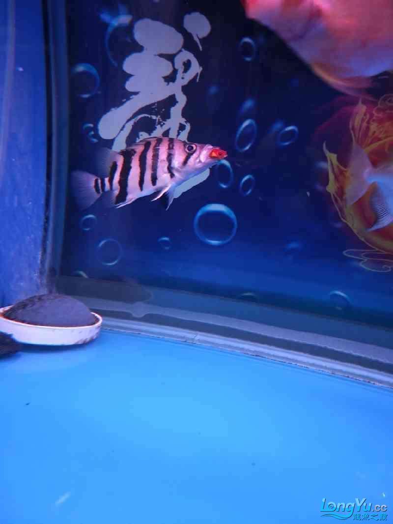 求大神指点,鱼身上那红点,就像水泡一样,这是怎