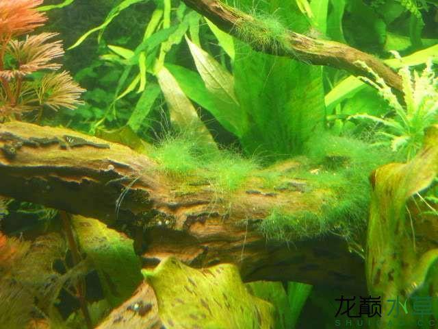 刚毛藻2.jpg