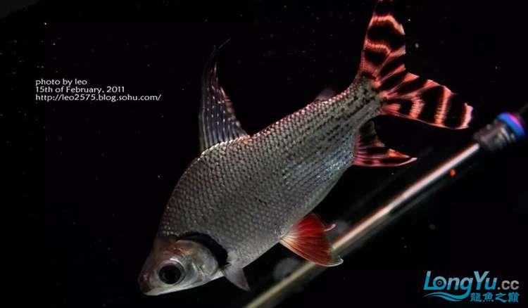 太原市水族饲料厂家养鱼人还记得那些年的四神兽的混养吗 太原观赏鱼 太原龙鱼第4张