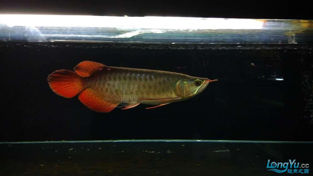 红龙鱼1.jpg