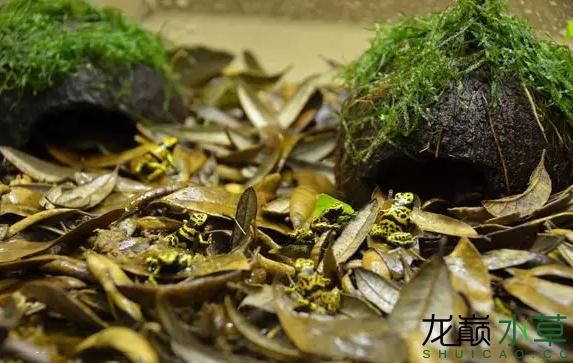 为了给箭毒蛙盖房子也是不容易啊 郑州龙鱼论坛 郑州龙鱼第46张