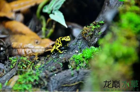 为了给箭毒蛙盖房子也是不容易啊 郑州龙鱼论坛 郑州龙鱼第48张