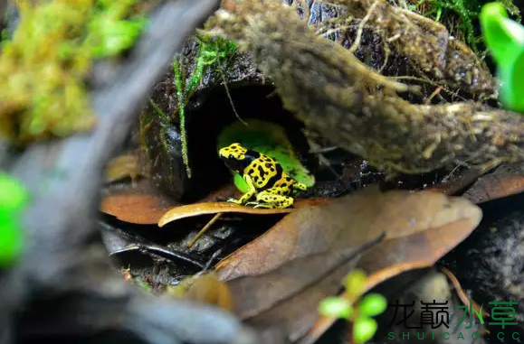 为了给箭毒蛙盖房子也是不容易啊 郑州龙鱼论坛 郑州龙鱼第49张