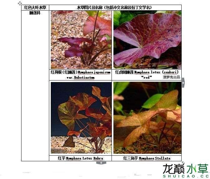 红色大叶水草1.JPG