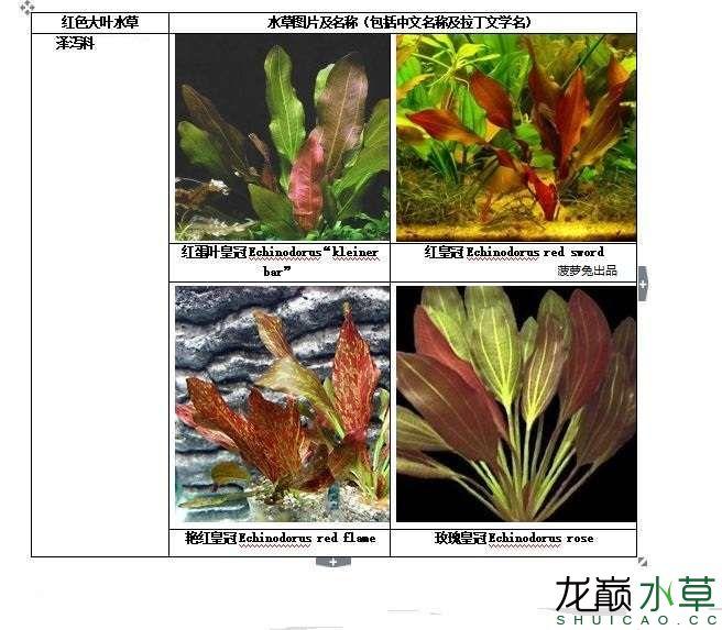 红色大叶水草2.JPG