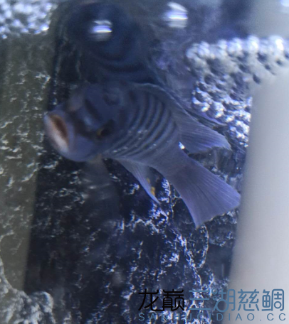 公鱼2.png