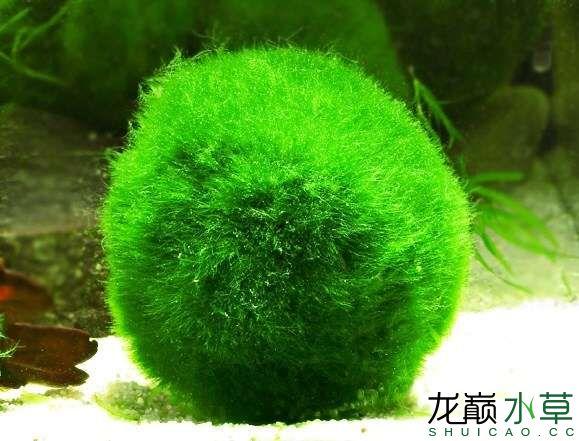 绿藻球.jpg