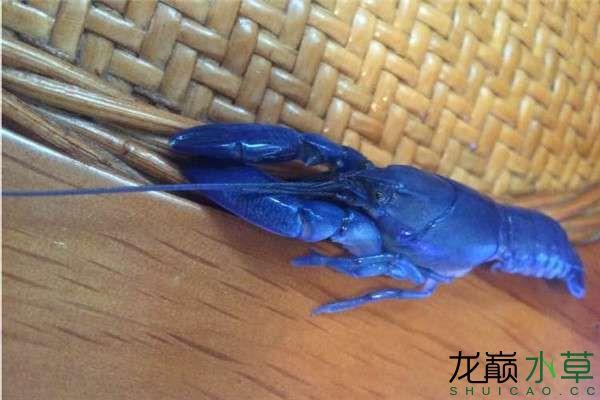 蓝魔虾1_副本.jpg