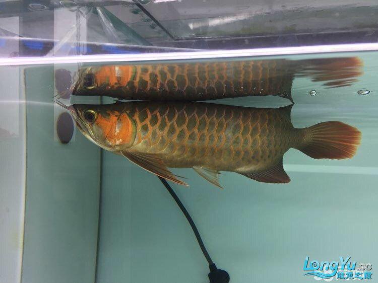 龙青岛慈鲷造景鱼爬缸龙鱼 青岛水族批发市场 青岛龙鱼第4张