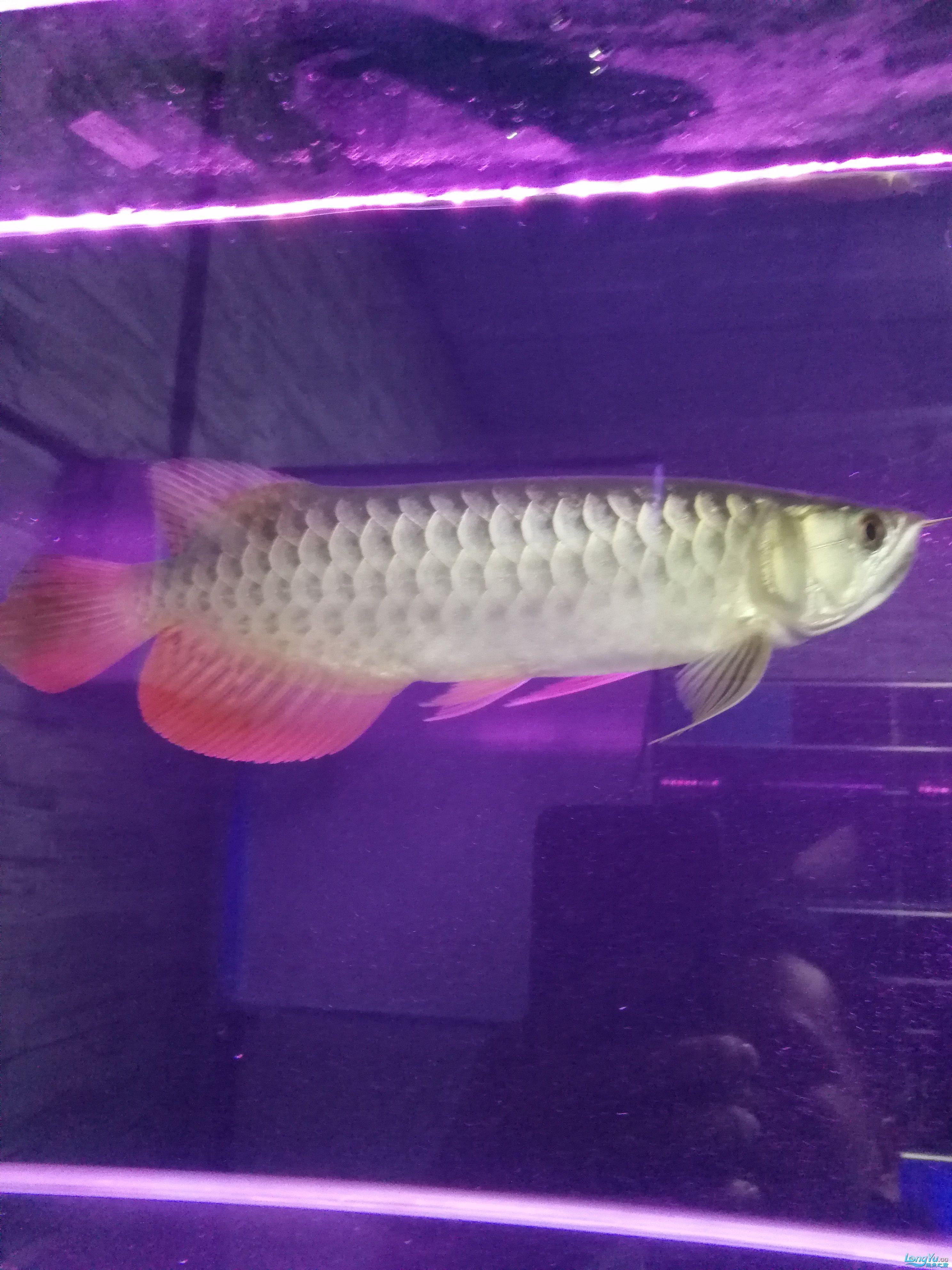大神们这是高背还是B过 北京观赏鱼 北京龙鱼第1张