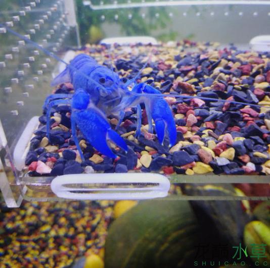蓝魔虾22.png